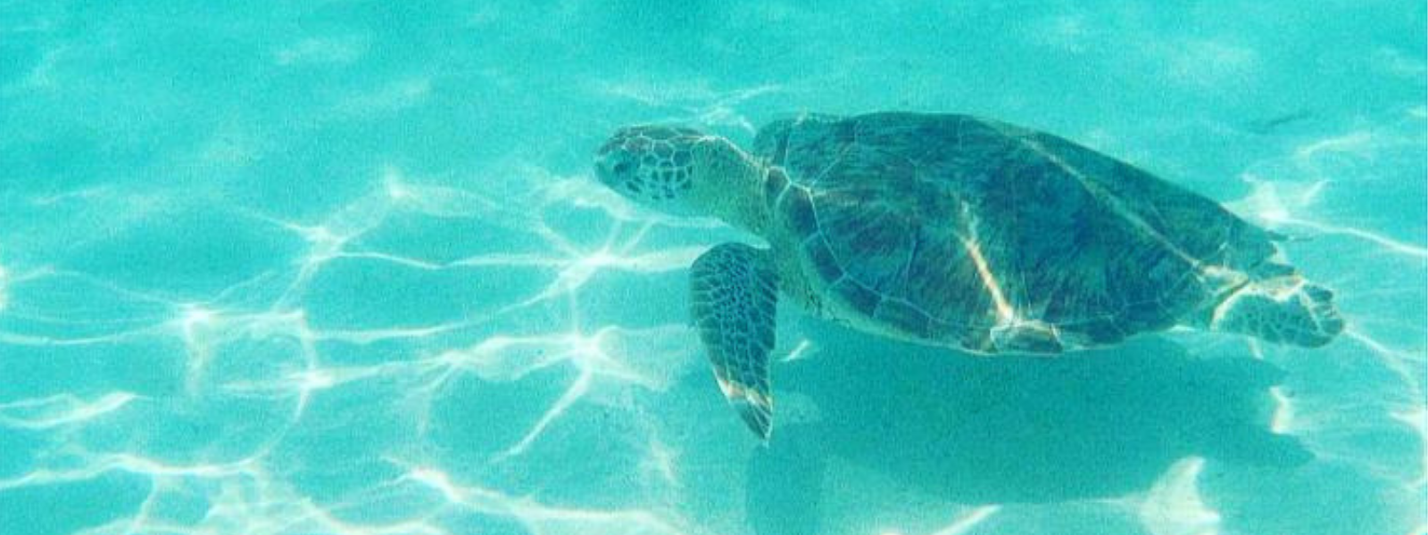 Sea Turtle Season op Aruba!
